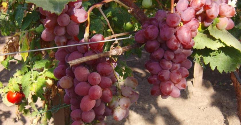 Виноград виктория: описание сорта, фото, отзывы