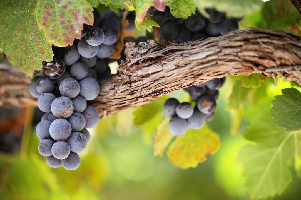 Урожайность винограда с 1 га и куста: нормы, видео и фото, отзывы
