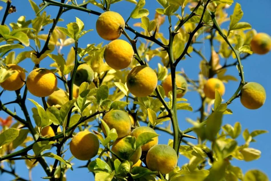 Лимонное дерево: 110 фото выращивания в домашних условиях и в саду