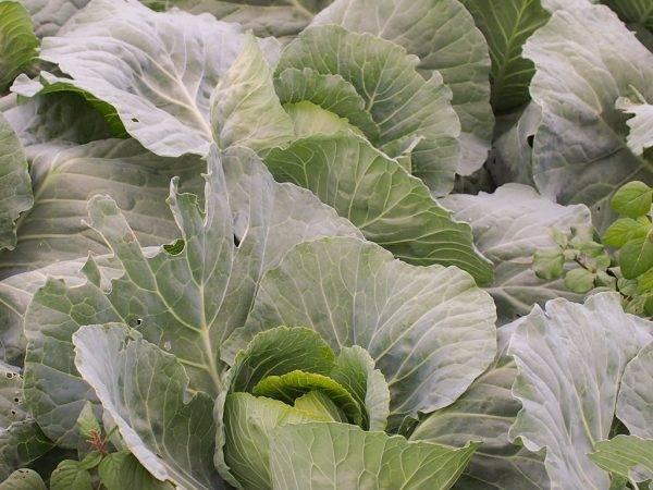 Капуста с компактной головкой – магнус f1. как выглядит, плюсы и минусы, основы выращивания, оценки садоводов