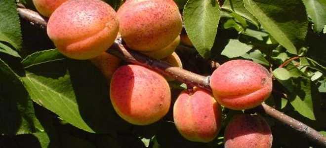 Абрикос сын краснощёкого: описание сорта и правила выращивания