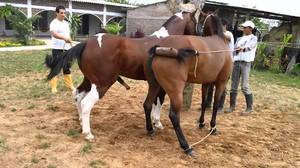 Случка и спаривание лошадей в табуне, как размножаются дикие жеребцы и кобылы: описание и видео случка и спаривание лошадей в табуне, как размножаются дикие жеребцы и кобылы: описание и видео