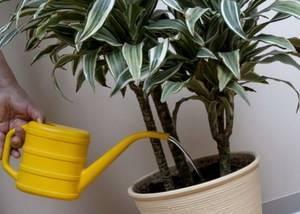 Почему у драцены желтеют и сохнут листья, болезни растения, фото