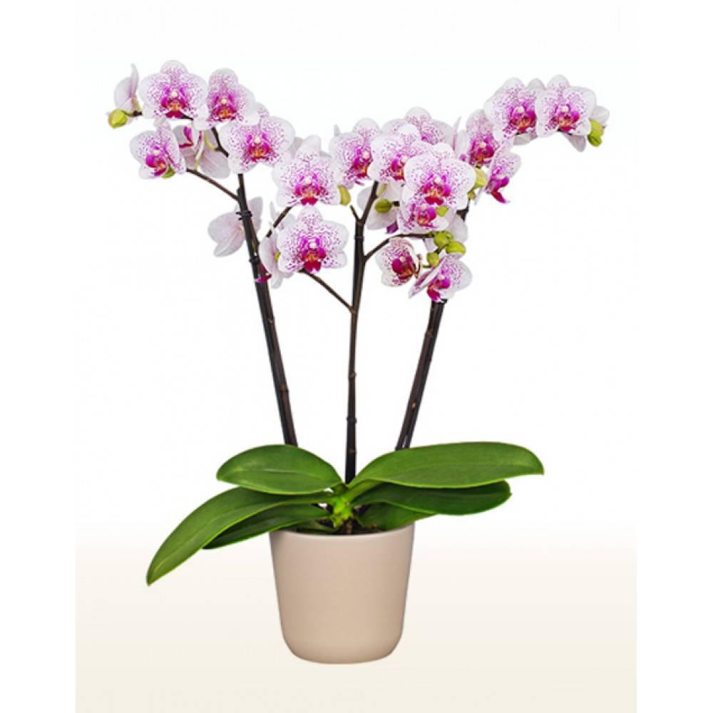 Орхидеи белые: описание, выращивание, уход