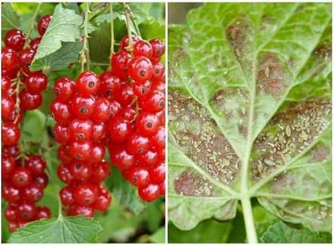 Галловая тля на смородине: вред и способы борьбы | огородники