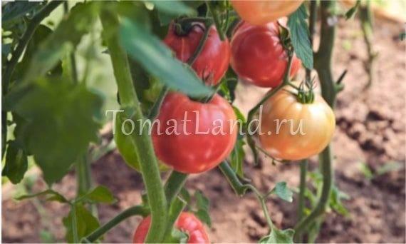 Томат розовый спам: отзывы, фото, урожайность | tomatland.ru