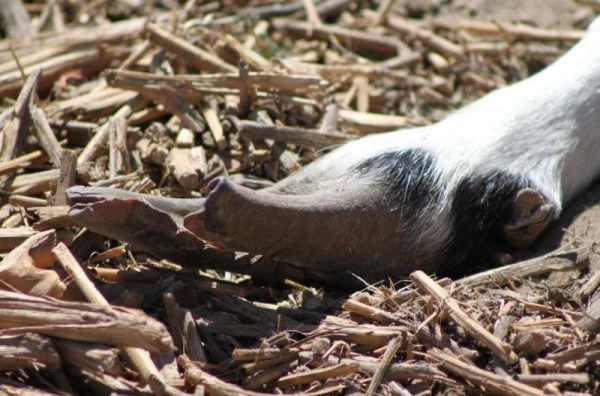 Обрезка копыт у козы (20 фото): как правильно подстричь копыта у козы в домашних условиях? ножницы для обрезки копыт