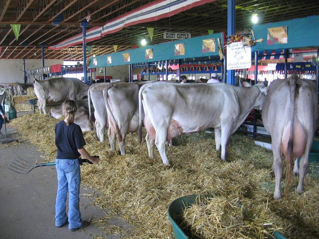 Монбельярдская порода коров (монбельярд): характеристики и содержание