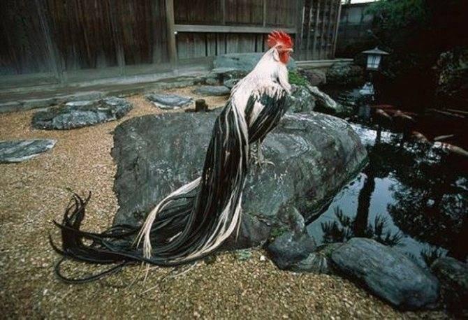Порода кур феникс: описание, особенности содержания и ухода