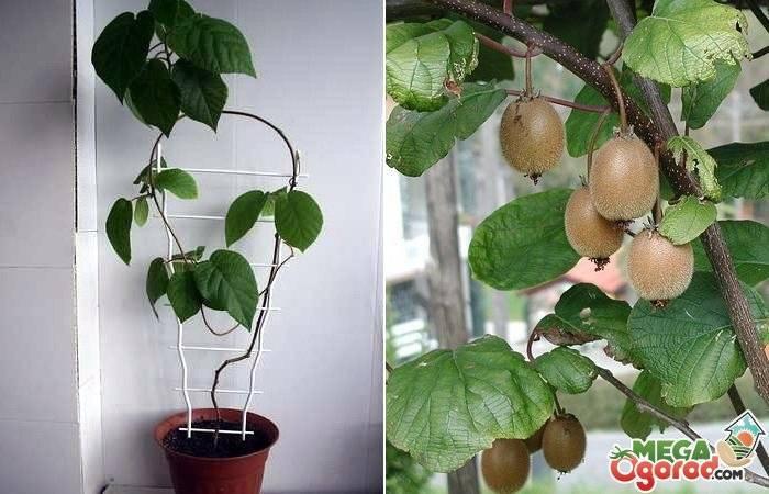 Киви: опыт выращивания в домашних условиях на supersadovnik.ru