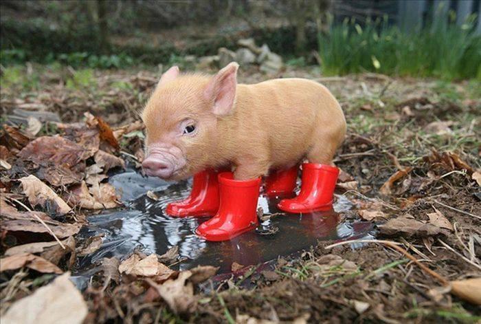 Свиноводство как бизнес: бизнес план разведения свиней в домашних условиях