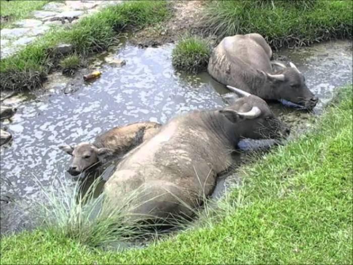 Домашний буйвол — характеристика, происхождение, содержание и кормление, перспективы разведения. | cельхозпортал
