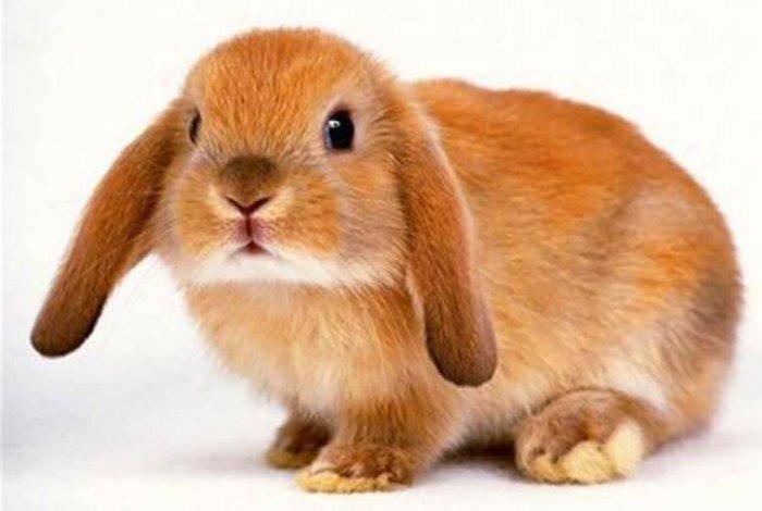 Кролики французский баран: описание породы, характеристика, фото, отзывы
