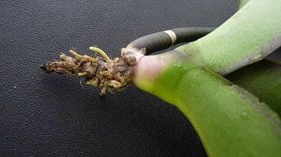 Рассказываем, как нарастить корни у орхидеи фаленопсис