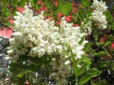 Белая акация - описание, характеристики и советы по применению быстрорастущего дерева в ландшафтном дизайне сада (фото + видео)