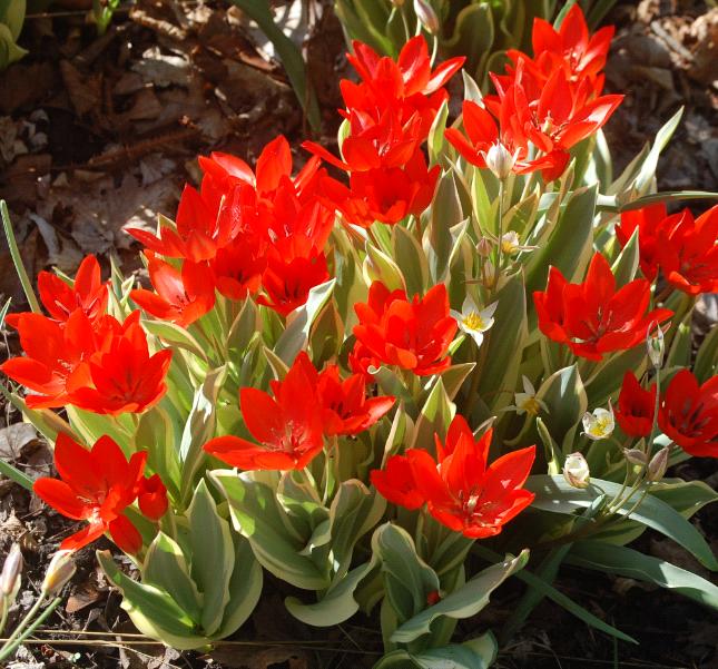 Когда можно пересадить тюльпаны на другое место