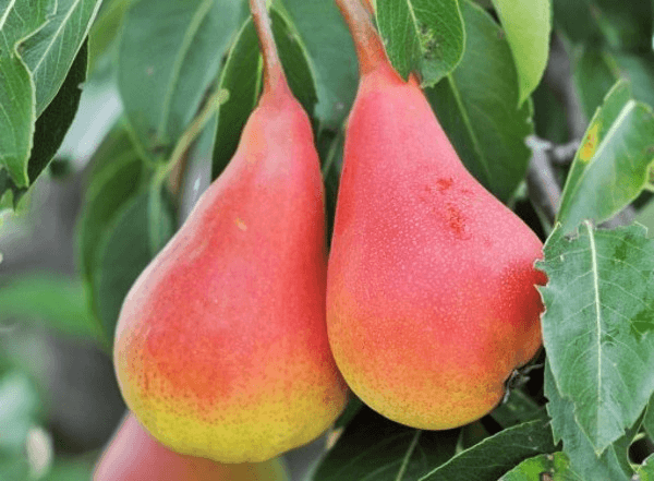 Груша нарядная ефимова: описание и характеристики сорта, правила выращивания, отзывы дачников