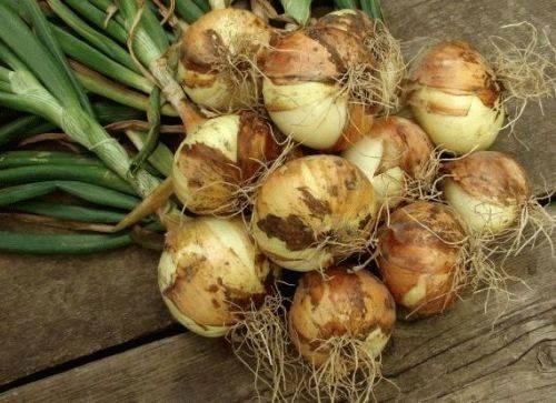 Лук стурон: описание, особенности выращивания и ухода за сортом