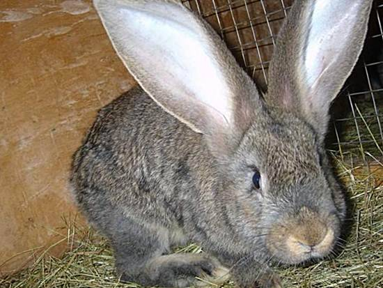 Кролики ризен: объясняем по полочкам