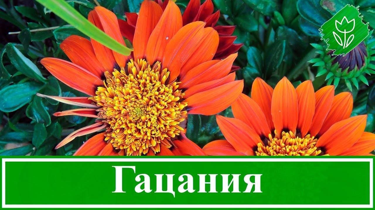 Гацания, выращивание из семян