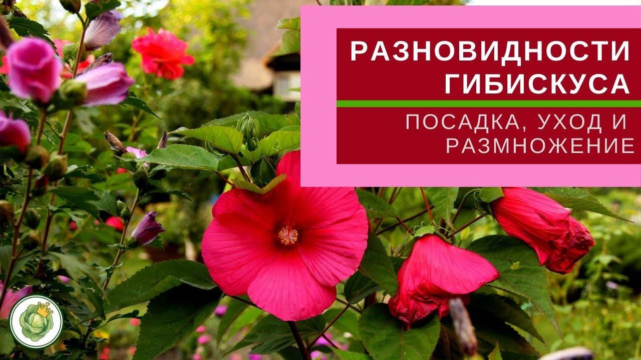 """Гибискус изменчивый (hibiscus mutabilis), или """"сумасшедшая роза"""": фото и описание, выращивание из семян и черенков, уход в домашних условиях и похожие цветы русский фермер"""