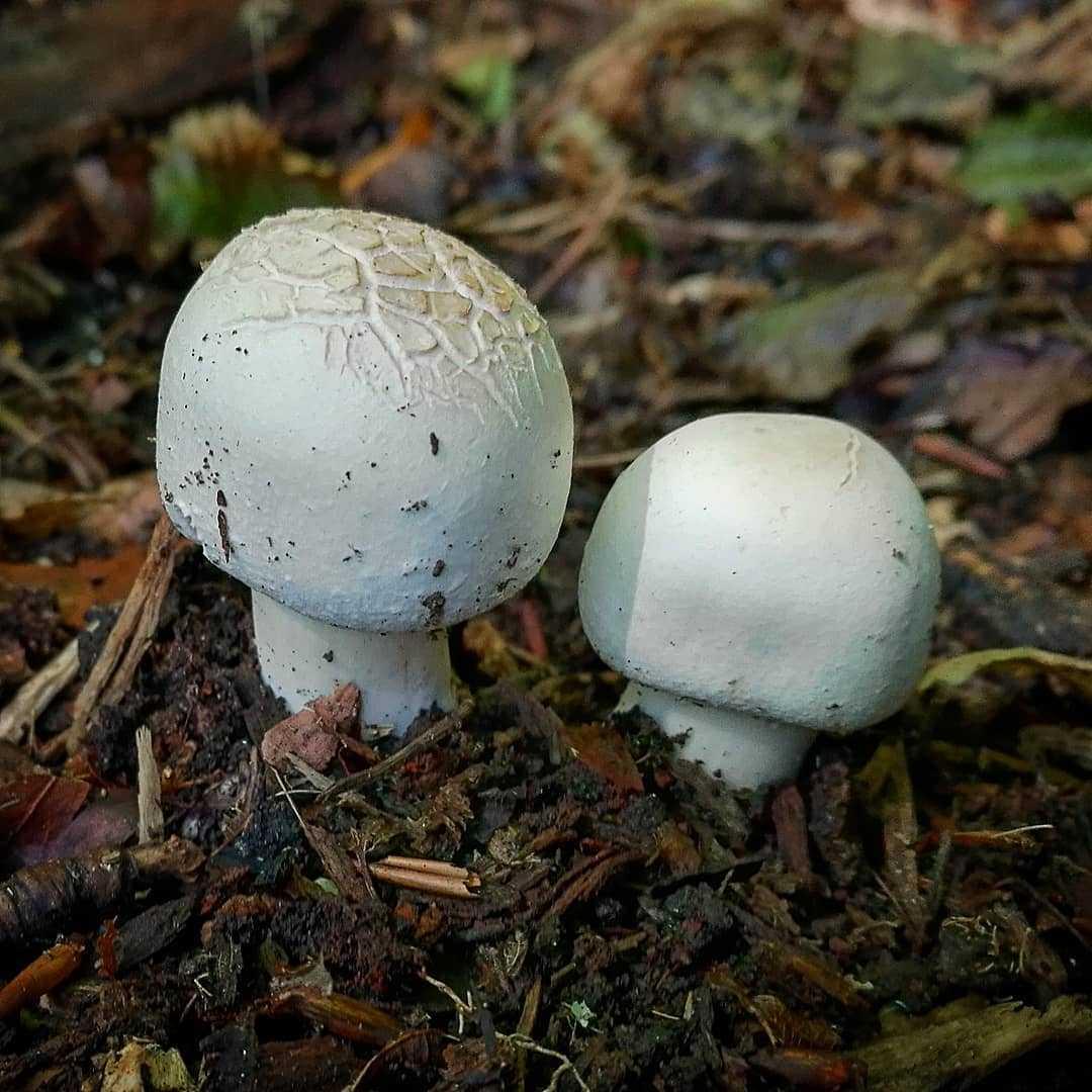 Шампиньоны: разновидности, польза и вред грибов