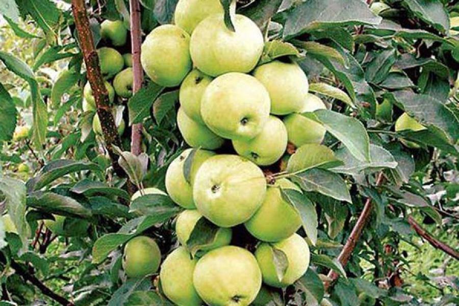 Колоновидная яблоня: сорта, фото, отзывы, размножение, выращивание