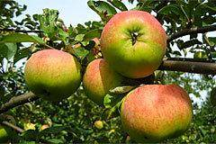 Яблоня услада: описание сорта, фото, отзывы садоводов