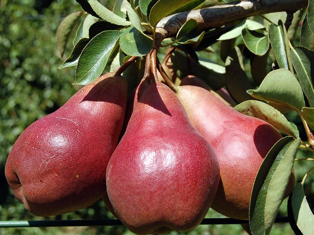 """Груша """"кармен"""": описание особенностей сорта и фото плодов selo.guru — интернет портал о сельском хозяйстве"""