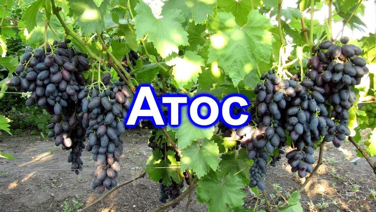 Виноград атос: описание сорта