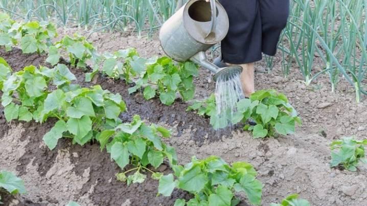 Как правильно поливать огурцы в открытом грунте: под корень или сверху