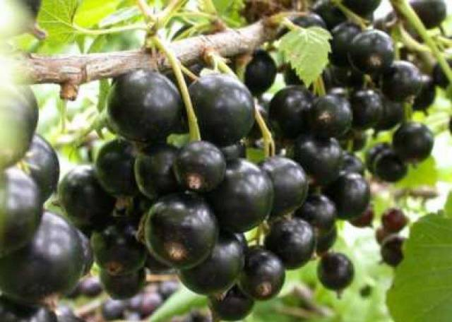 Сорт чёрной смородины «Багира» — особенности и характеристики