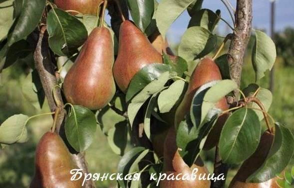 Груша брянская красавица: описание, советы по посадке и уходу