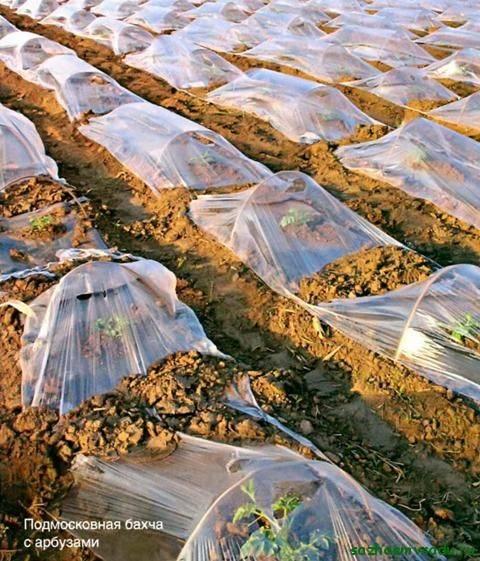 Особенности выращивания арбузов в средней полосе россии, в том числе в открытом грунте, а также какие сорта выбрать для данного региона