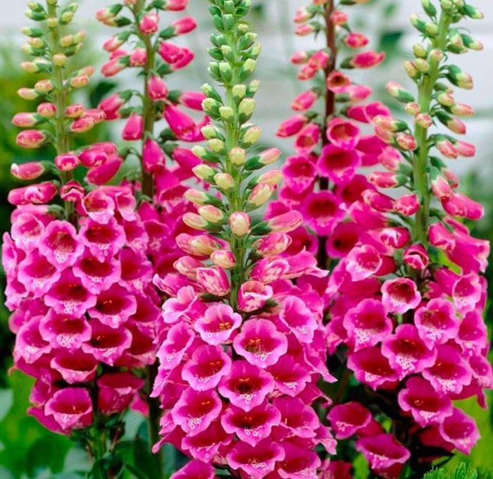 Как вырастить наперстянку — правила ухода за цветком