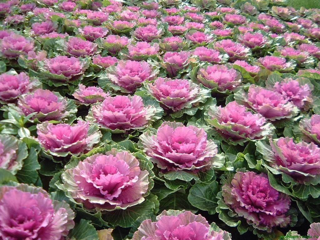 Декоративная капуста – идеальное украшение осеннего сада для новичков