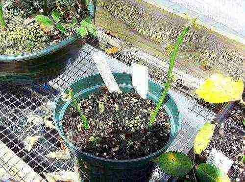 Размножение лимона черенками в домашних условиях. размножение цитрусовых черенками.