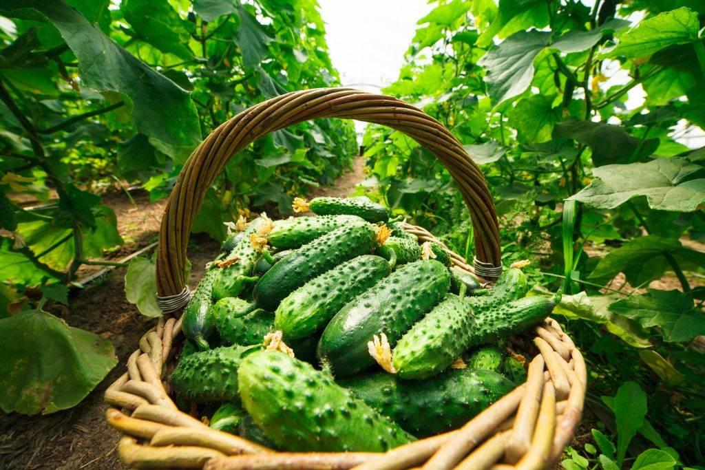 Самые урожайные сорта огурцов для открытого грунта — советы