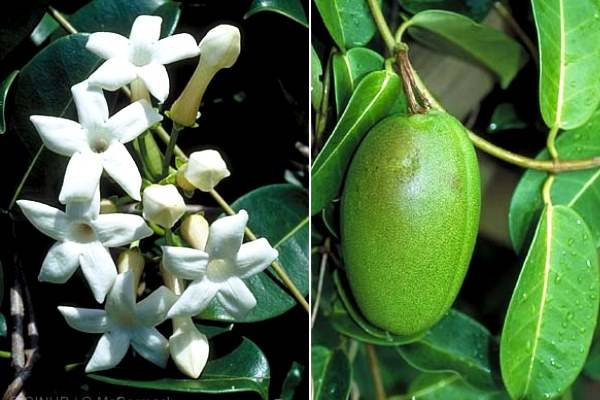 Как выглядит цветок стефанотис: описание, фото. выращивание стефанотиса в домашних условиях: посадка, уход, размножение. цветок стефанотис в домашних условиях: посадка и уход