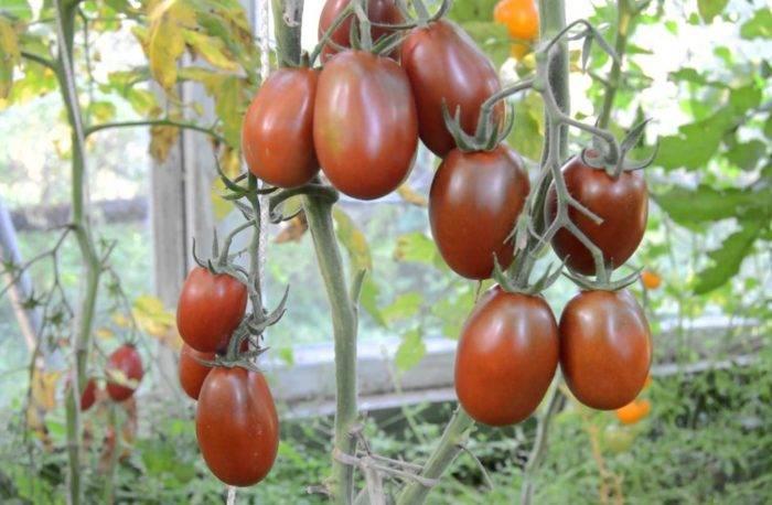 Описание сорта томата Черный мавр — как поднять урожайность
