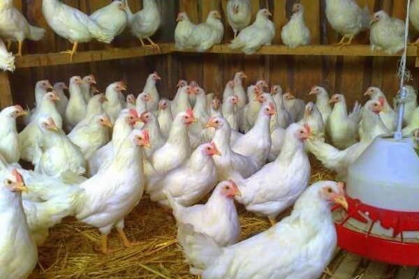 Ломан браун: описание породы кур и фото, характеристика несушек, цыплят и петухов, когда начинают нестись, содержание selo.guru — интернет портал о сельском хозяйстве