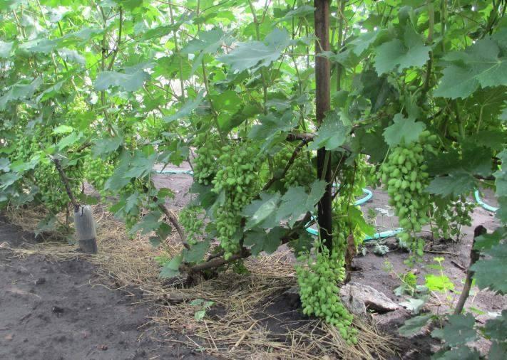 Виноград кодрянка: особенности сорта и выращивания