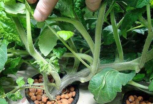 Как выращивать лук методом гидропоники