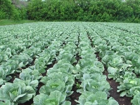 Чем обработать капусту от мошки народными средствами: рецепты составов