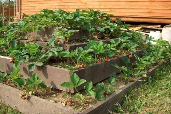 Особенности выращивания клубники в пирамидах