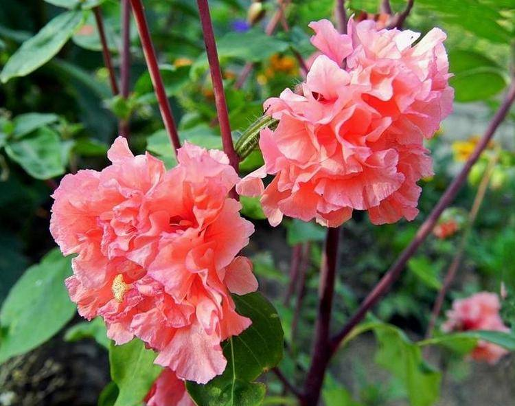 Цветы «Кларкия»: выращивание из семян, посадка и уход + фото