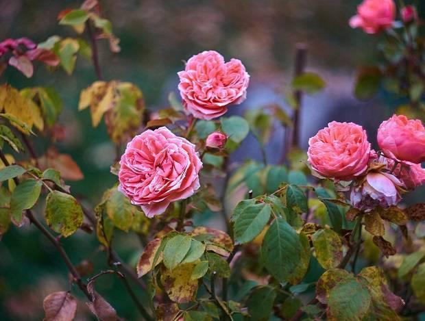 Как обрезать розы? 37 фото обрезка осенью и весной для начинающих. как правильно обрезать розы перед укрытием на зиму в подмосковье?