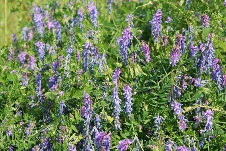 Какие сидераты лучше сеять весной?