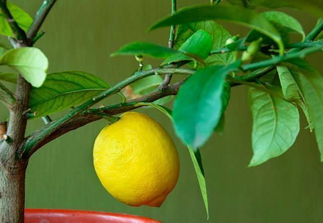 Как пересадить лимон - 80 фото простых методов и рекомендации профессионалов по правильной пересадке своими руками