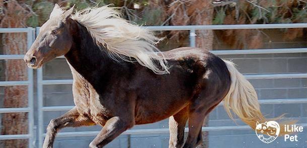 Лошадь скалистых гор - лошади  - каталог статей - техасские приключения